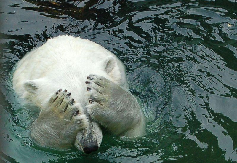 Ours-polaire-refusant-de-voir-le-peu-defforts-faits-pour-laider